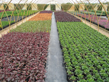 7 rows heuchera